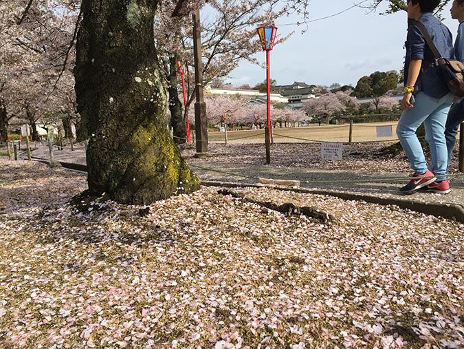 48桜散り始め_5143