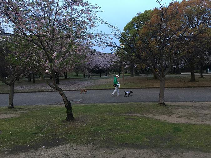 48桜散り始め_4597