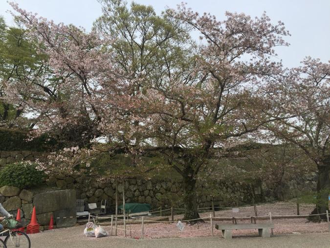 49姫路城桜情報_6020