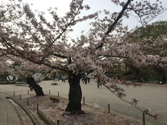 49姫路城桜情報_4783