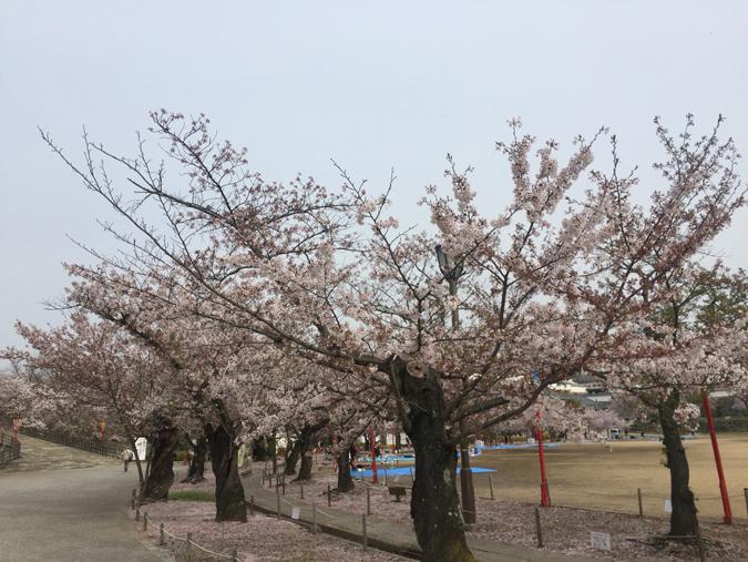 49姫路城桜情報_7690