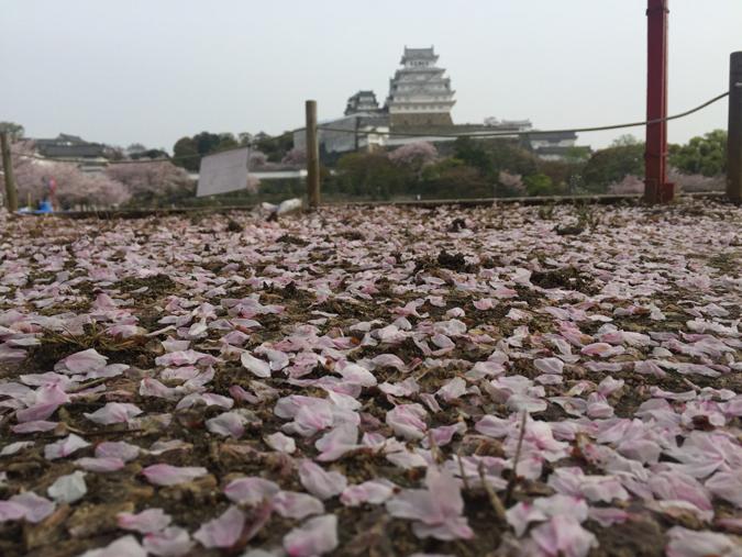 49姫路城桜情報_9472