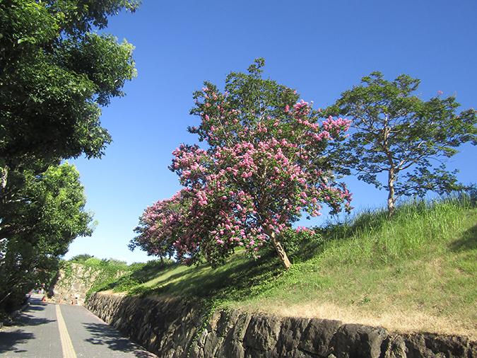 サルスベリ姫路城2