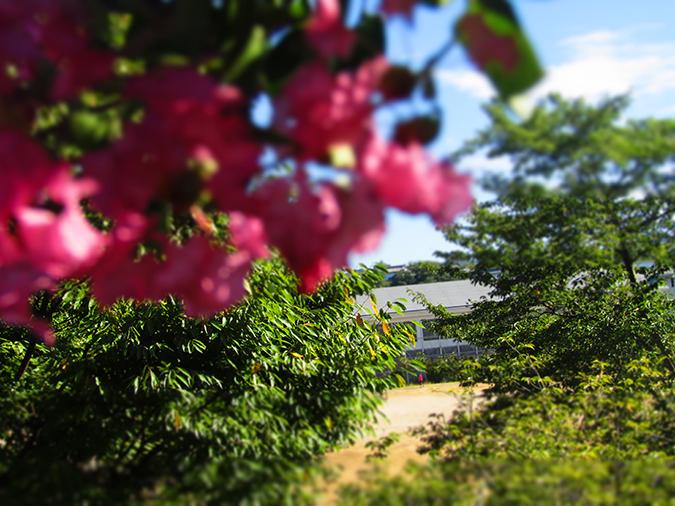 サルスベリ姫路城3