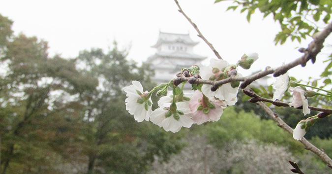 今日の姫路城桜がもう咲いてる