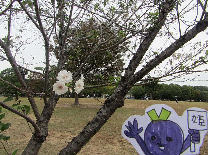 今日の姫路城桜がもう咲いてる6