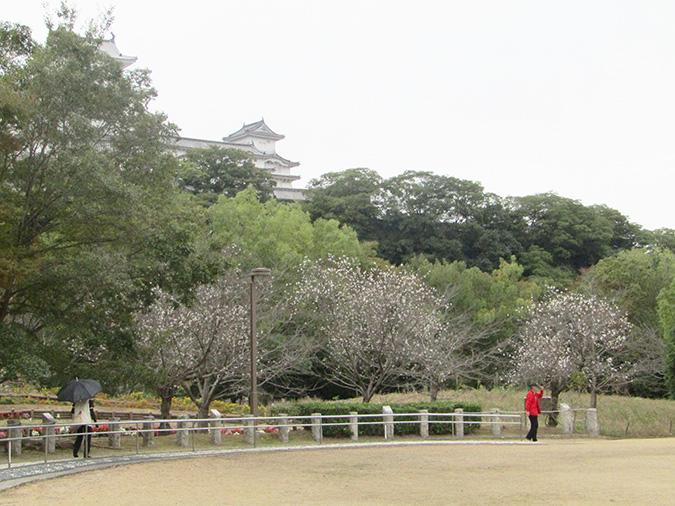 今日の姫路城桜がもう咲いてる3