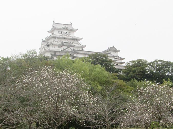 今日の姫路城桜がもう咲いてる2